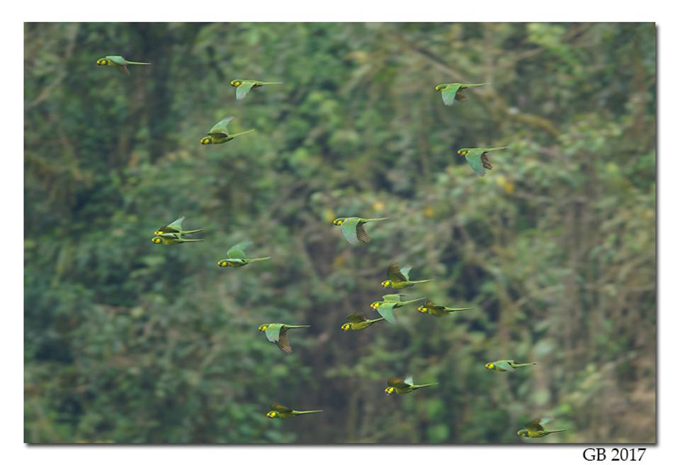 yellow-eared parrot glenn bartley