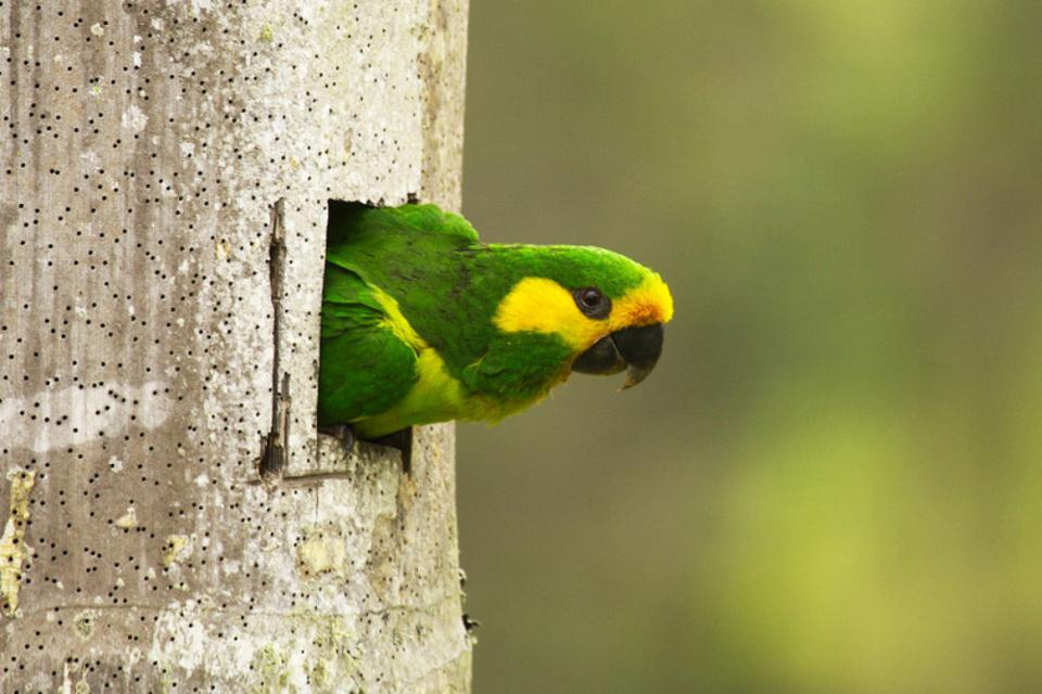 yellow-eared parrot nest hollow ProAves Colombia