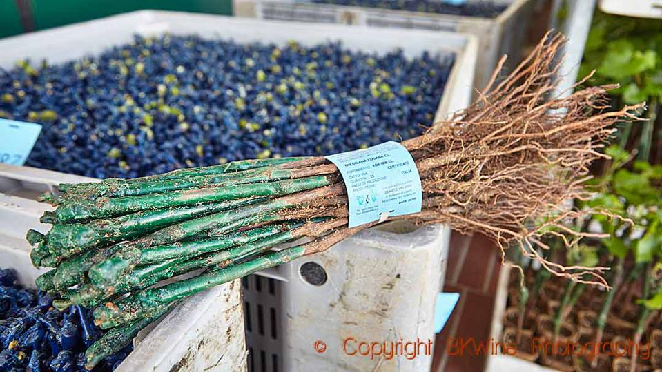 Grafted vines ready to be delivered to a winery