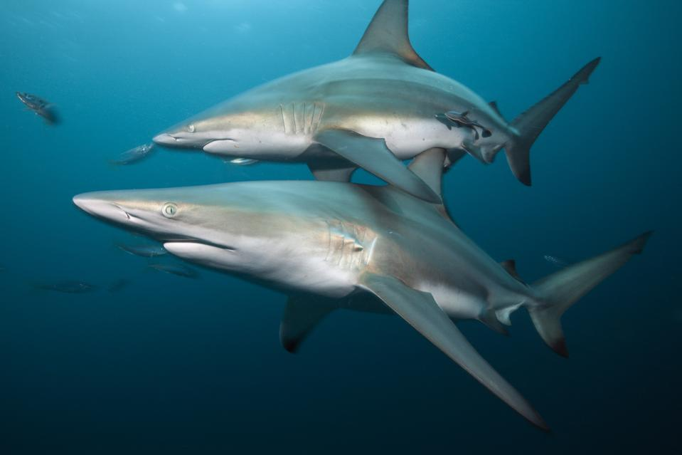 Blacktip Sharks, Carcharhinus limbatus, Aliwal Shoal, Indian Ocean, South Africa