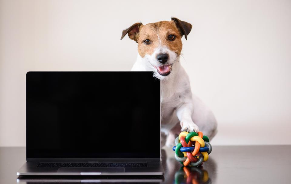 dog on desk with toy ball under paw interrupting work - remote work in 2021 and beyond