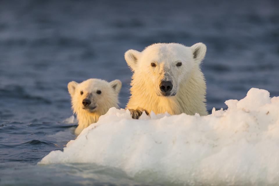 There is a vibrant and unique range of wildlife in the Arctic, such as polar bears