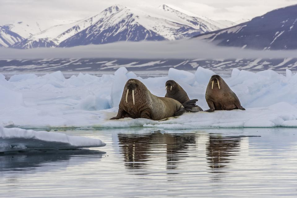The walrus, Odobenus rosmarus, is a large flippered marine mammal with a discontinuous circumpolar distribution in the Arctic Ocean and sub-Arctic seas of the Northern Hemisphere.
