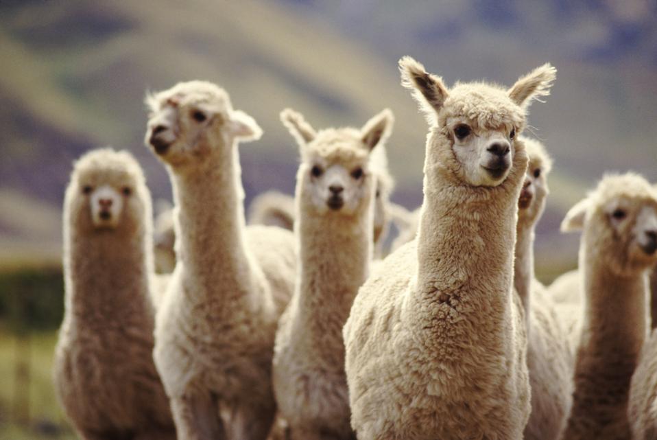 A herd of Alpaca in Peru, staring at the camera.