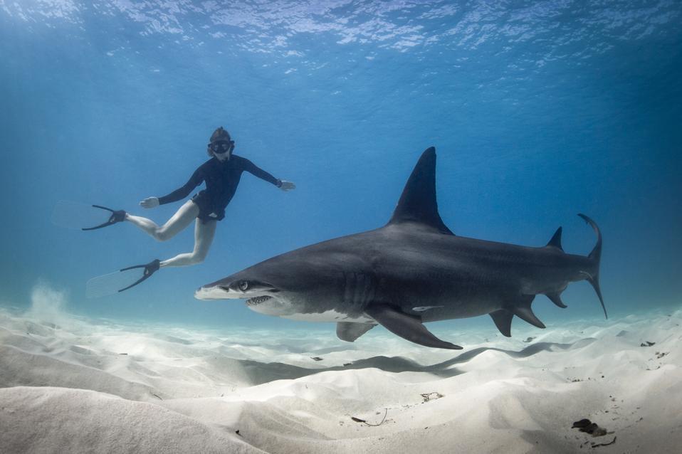 Woman free diving with Hammerhead shark, Bimini, Bahamas