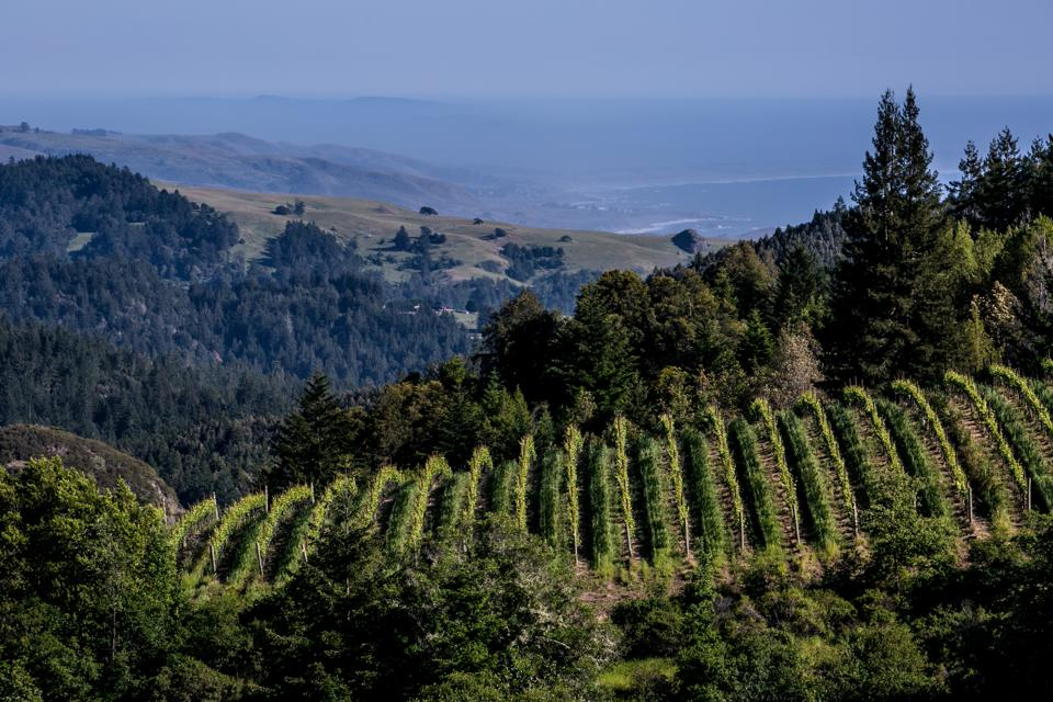 vineyards and forest, coast in the distance, Sonoma County, California