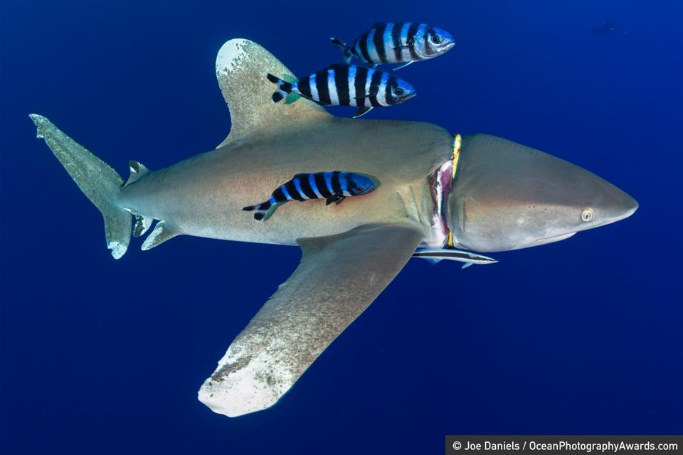 Ocean Photography Awards: A diver's regulator holder cuts into the flesh of an oceanic whitetip shark.