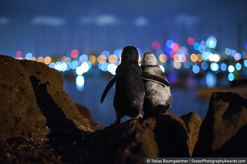 Ocean Photography Awards: Two penguins look out across the water to Melbourne's lights.
