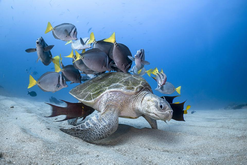 Ocean Photography Awards: Big turtle followed by colorful fish.