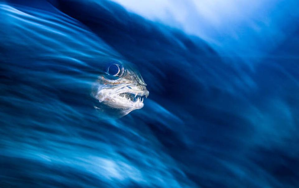 Ocean Photography Awards: Fish surfing  a wave.