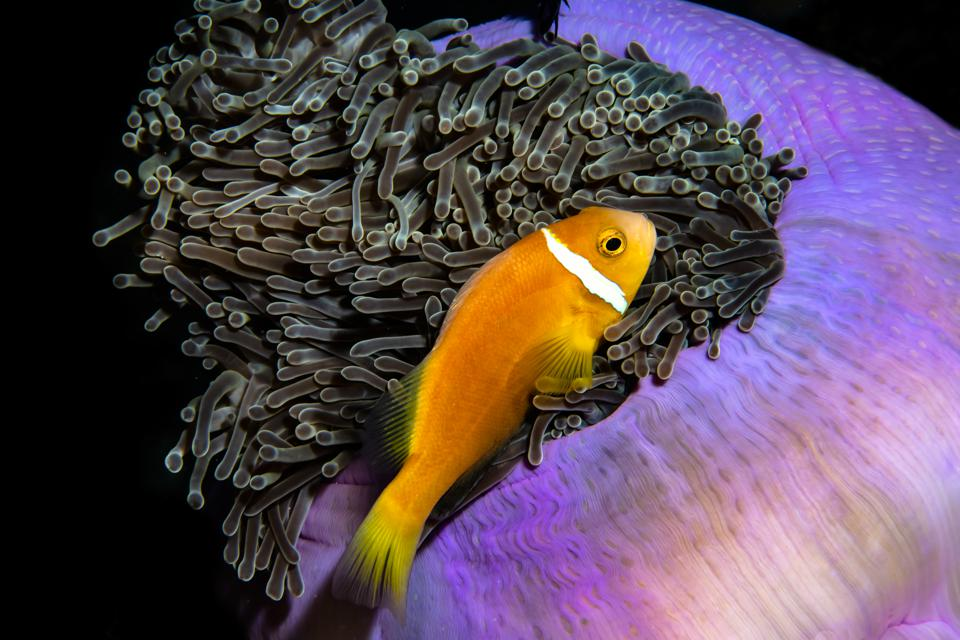 Ocean Photography Awards: anemone fish in Maldives