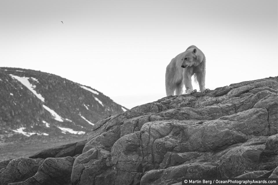 Ocean Photography Awards: A starving polar bear waiting for ice to return in Norway.