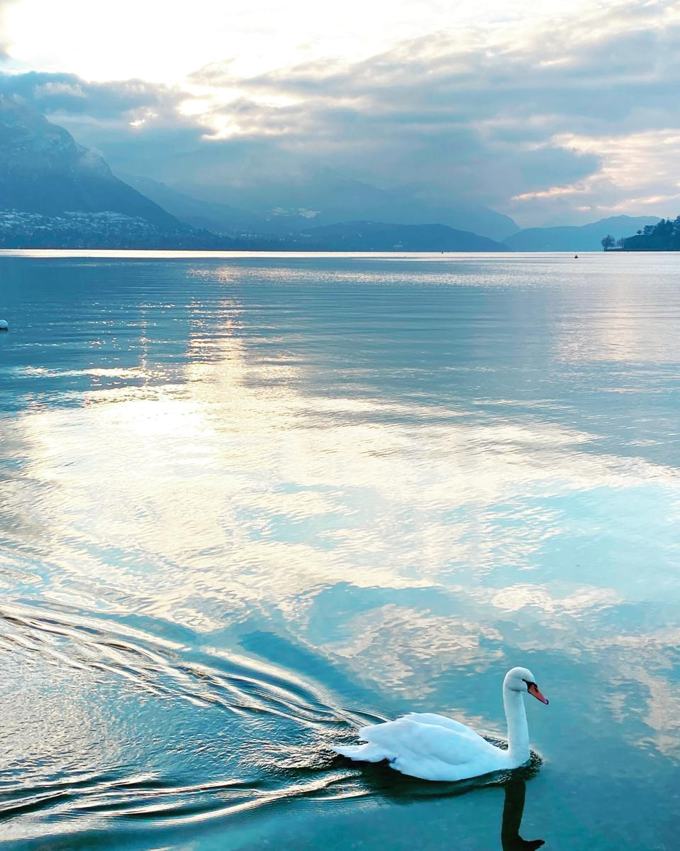 Swan on Lake Annecy, France