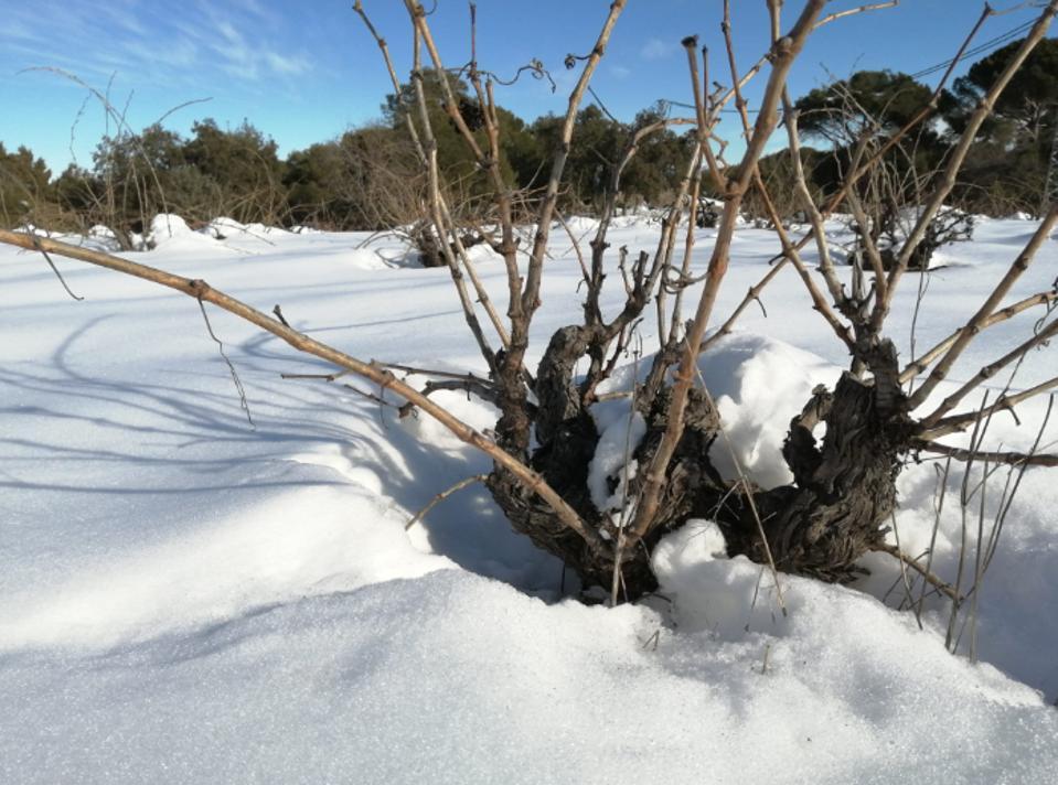 Snow covered vines outside Madrid, Spain