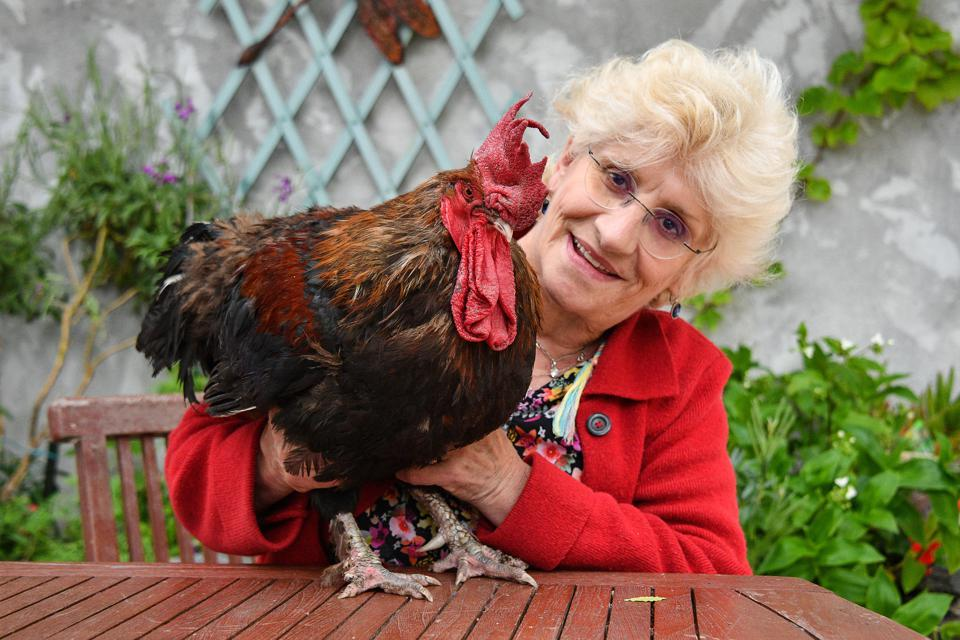Maurice the rooster–neighbours complained he was too noisy; a new law now protects his right to make as much noise as he would choose