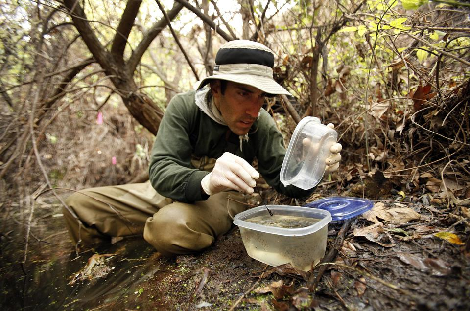 CALABASAS, CA - MARCH 11, 2014:   Mark Mendelsohn, Biologist with the National Park Service closely
