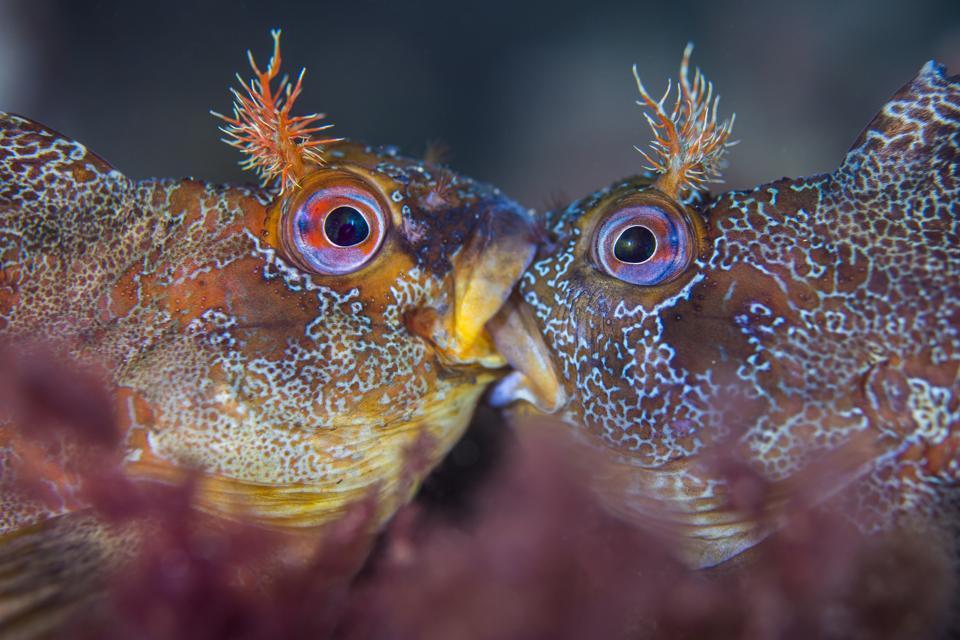 Ocean Photography Awards: Colorful fish kissing.