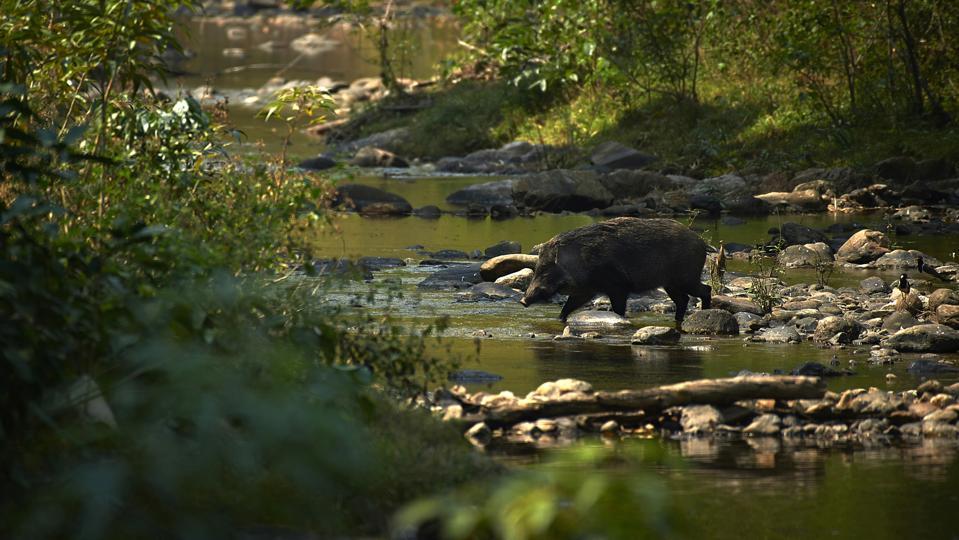 Wild boar-Huai Kha Khaeng Wildlife Sanctuary-Thailand
