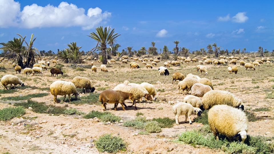 Sheep, Chergui island, Kerkennah Islands, Tunisia