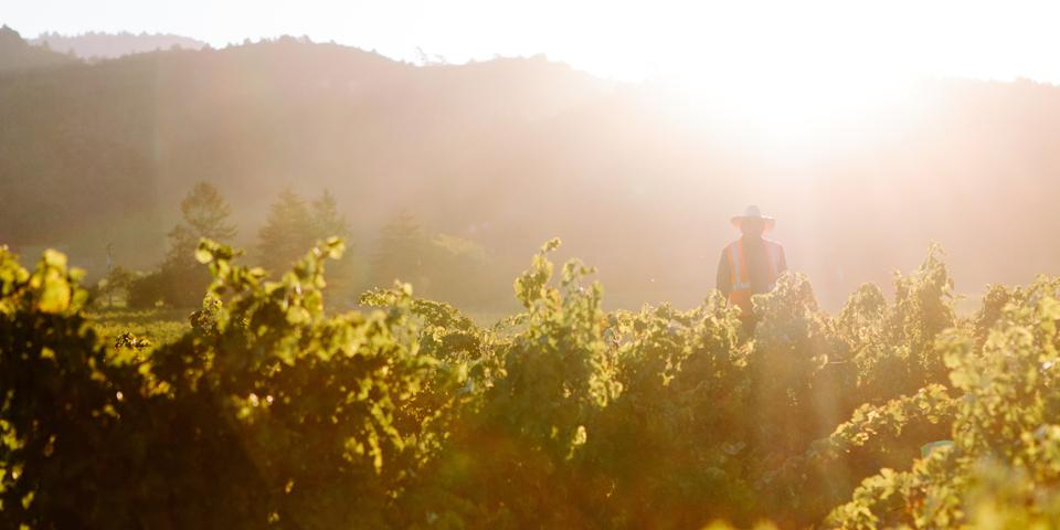 A vineyard worker harvests grapes in a sunny field