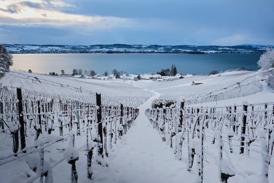 Snow covered vines before a lake