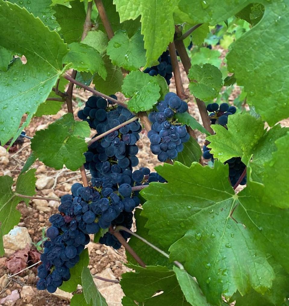 Pinot Noir grape cluster in Burgundy