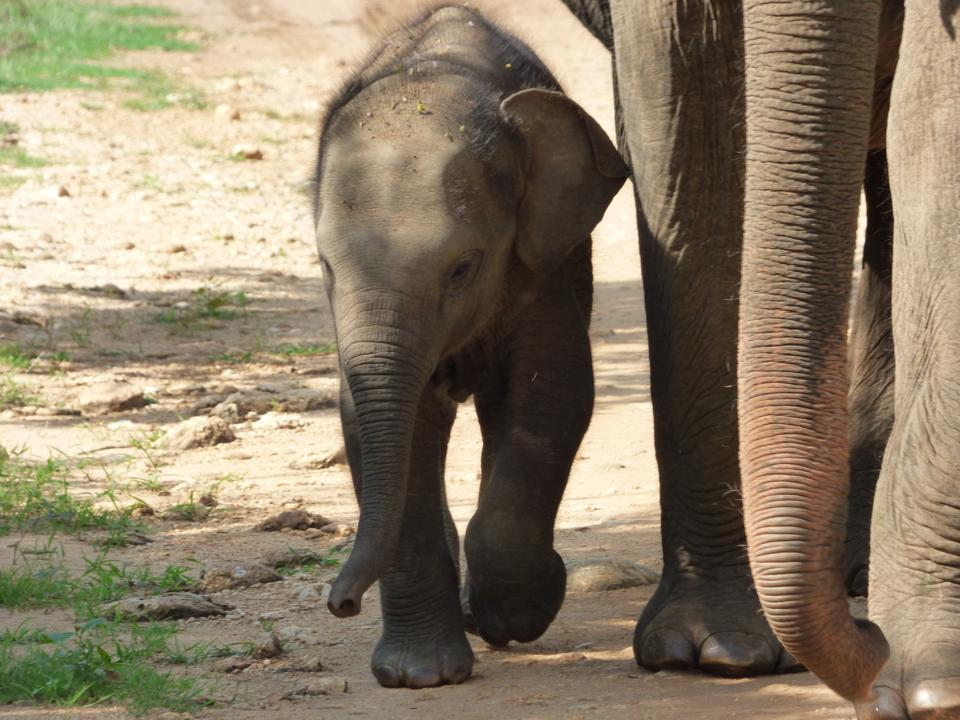 Close up of a baby elephant walking in Sri Lanka with its mother.