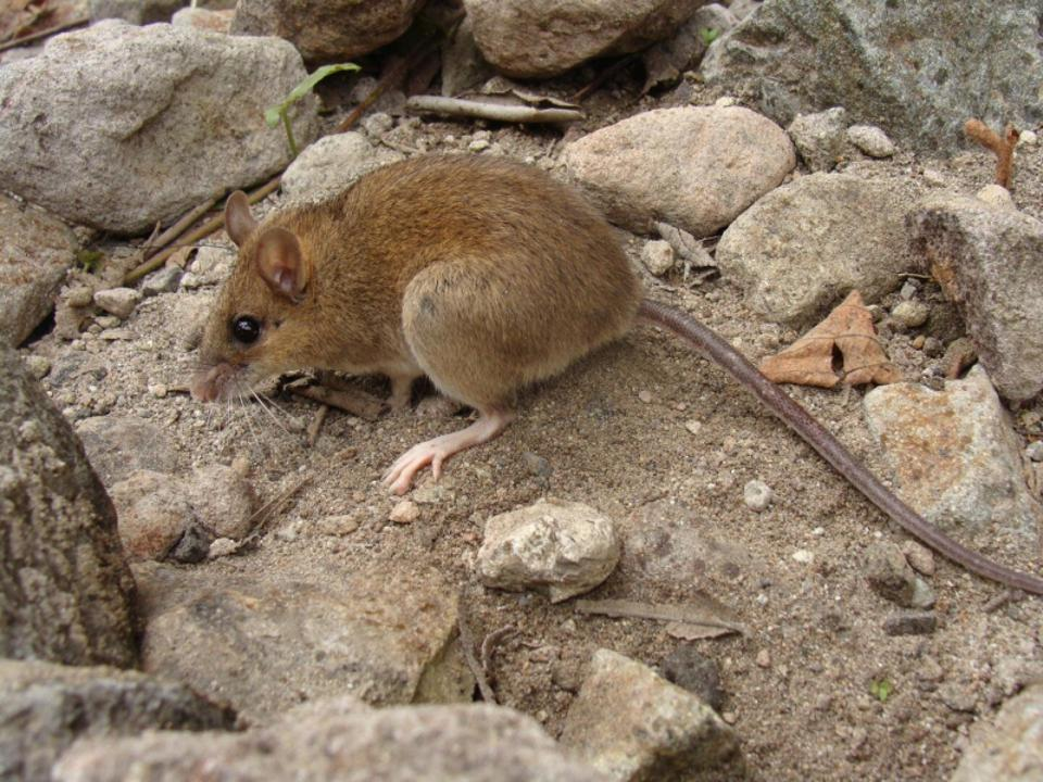 The rediscovered Pinatubo volcano mouse, thought to be extinct after the disastrous eruption of the volcano in 1991.