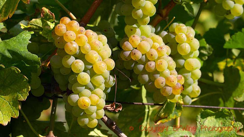 Riesling grapes in a vineyard in Alsace