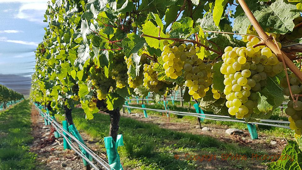 Riesling, almost ripe in Central Otago, New Zealand