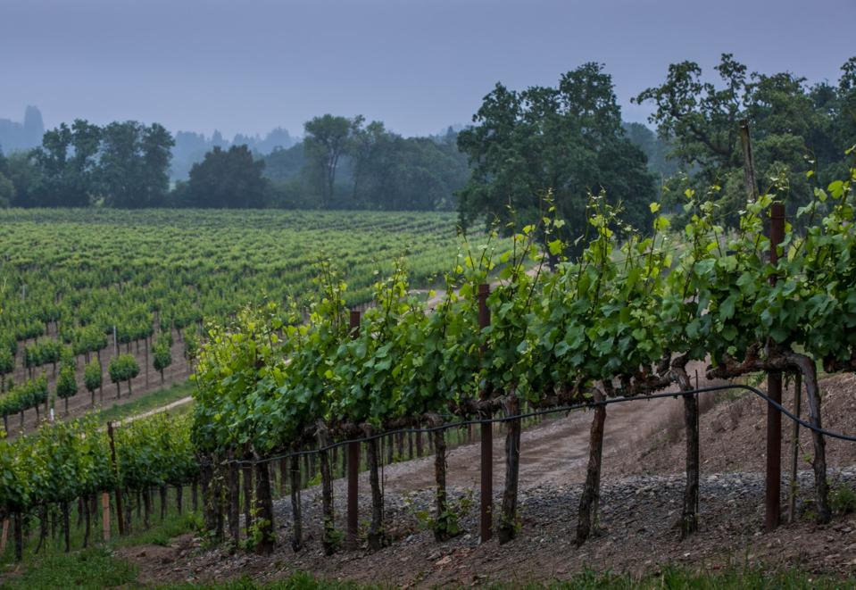 Rochiloi Vineyard in the Middle Reach, Russian River Valley