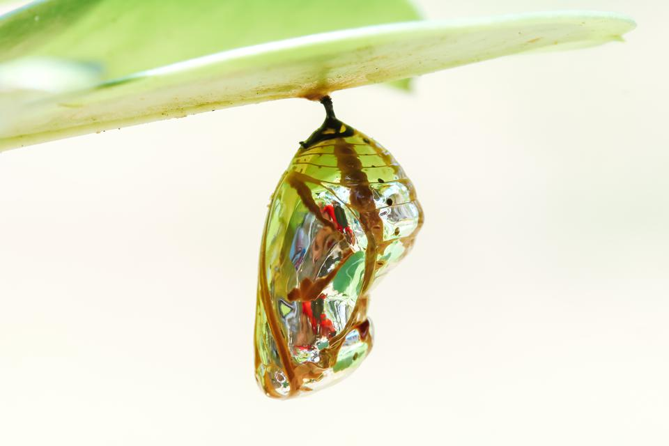 Caterpillars retreat to a cocoon to liquefy and rebirth themselves as butterflies.