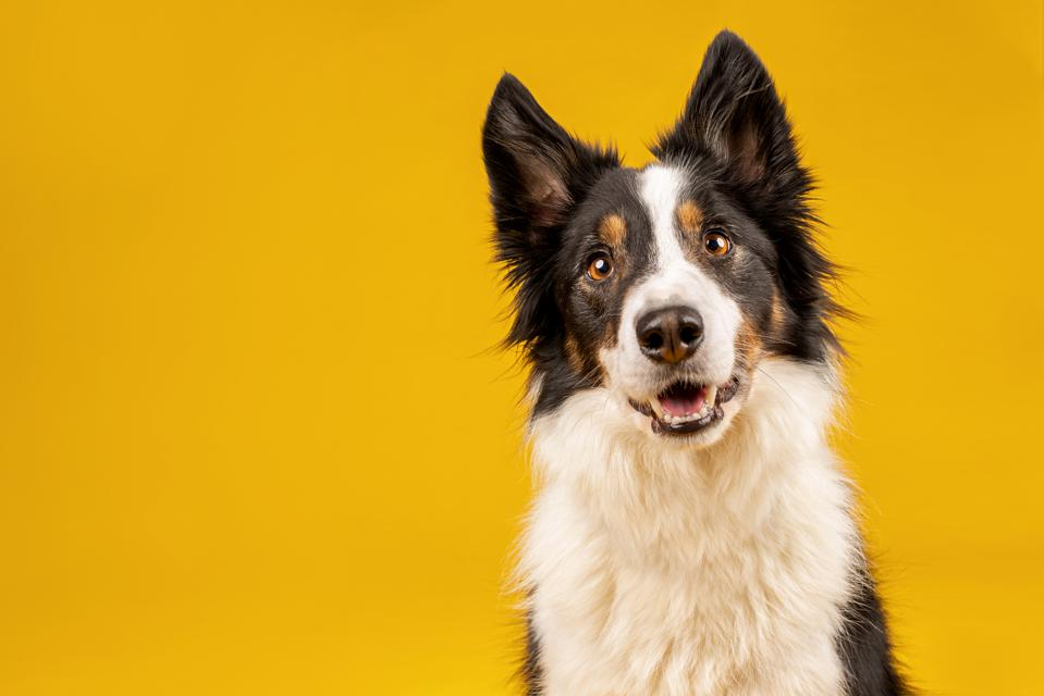 The border collie often tops lists of smartest dog breed.