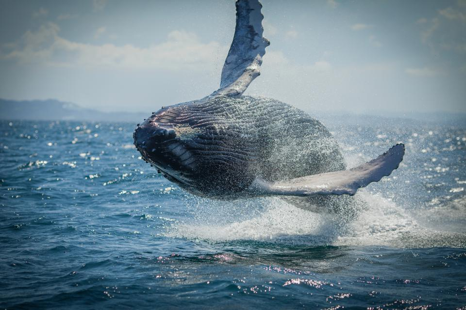 A humpback whale flips out of the water in northern Iceland