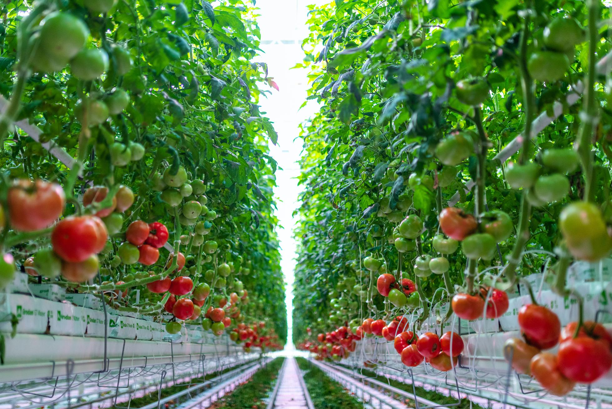 AppHarvest's 60-acre indoor farm in Morehead, Kentucky grows a variety of tomatoes on the vine and beefsteaks.
