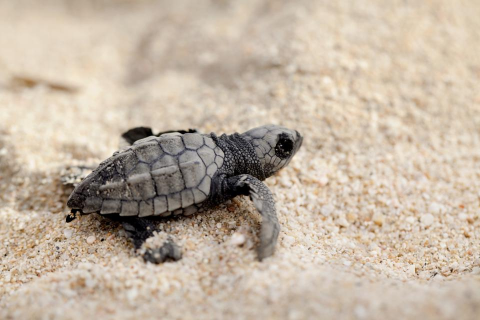 A tiny olive ridley sea turtle crawling on sand