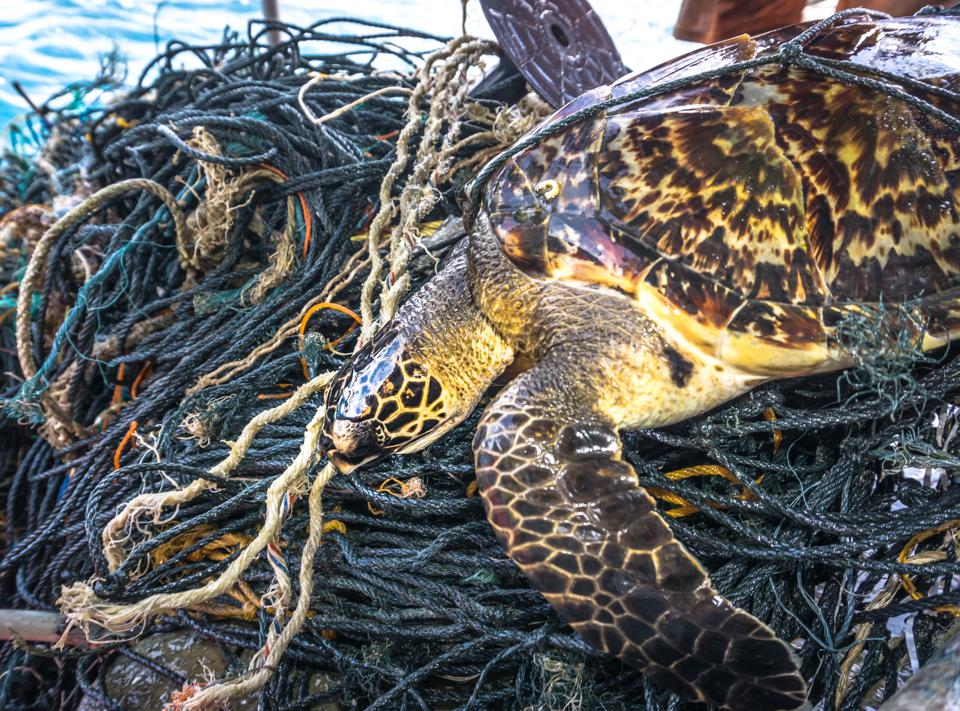 Critically Endangered Hawksbill Sea Turtle tangled Ghost Net