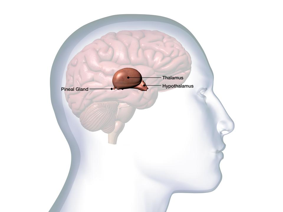 Profile of Male Head with Thalamus Brain Anatomy on White Background