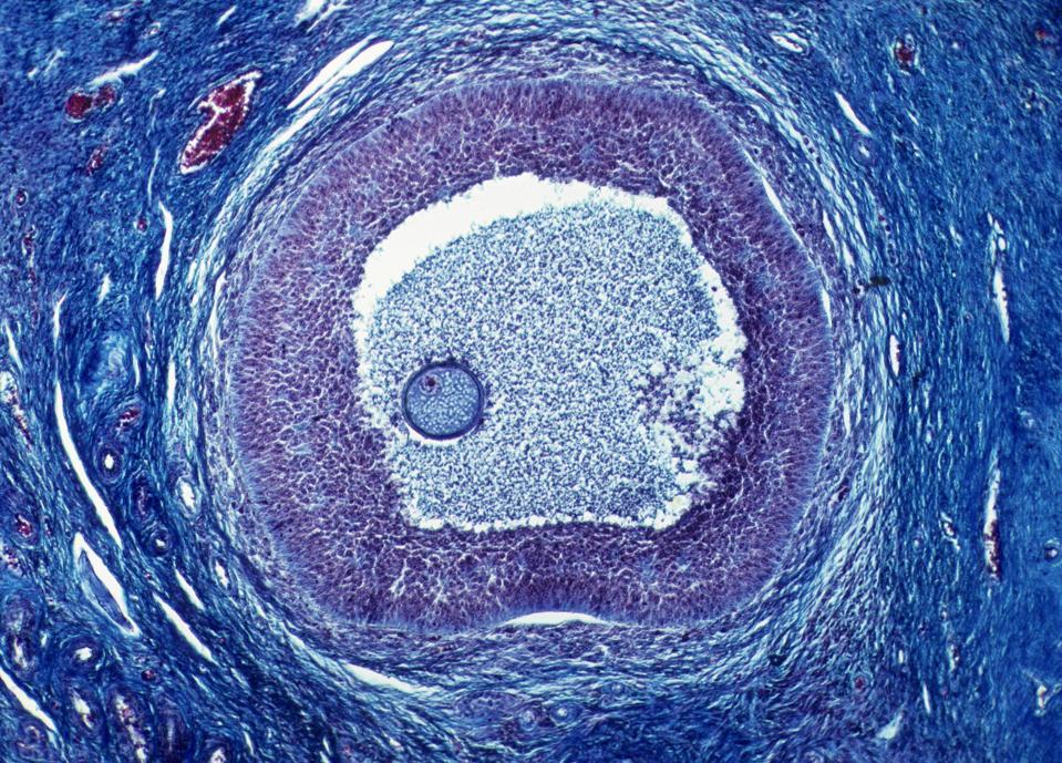 OVARIAN FOLLICLE, MATURING, 25X. Shows: a single follicle, oocyte (egg), zona pellucida, antrum, follicular cells (secrete hormones).