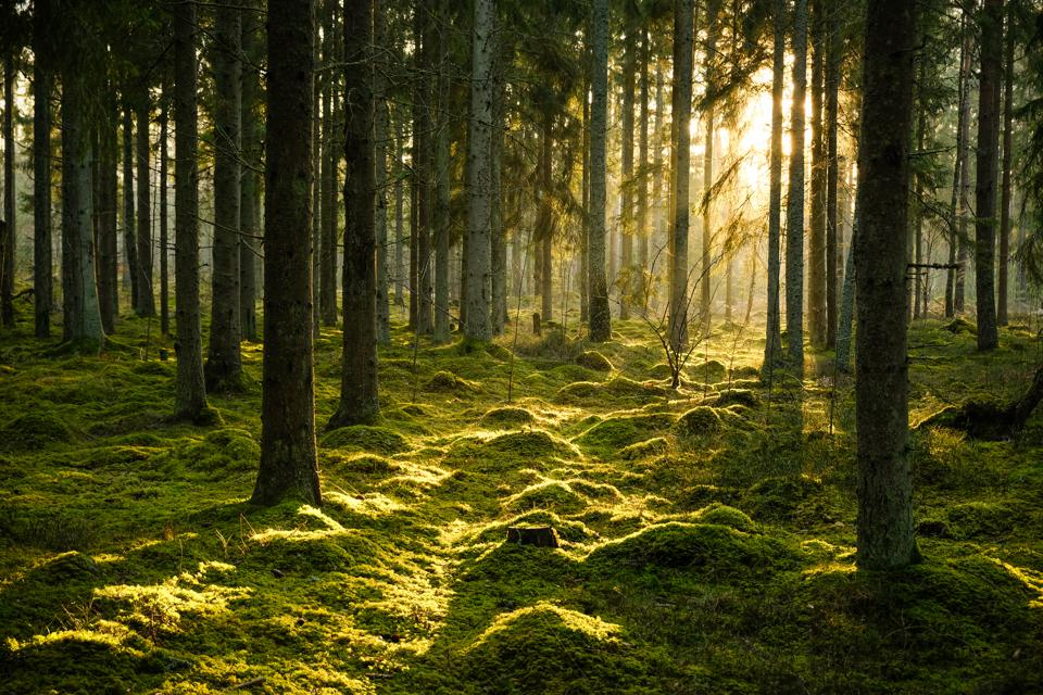 Coniferous forest in evening light with fog in winter