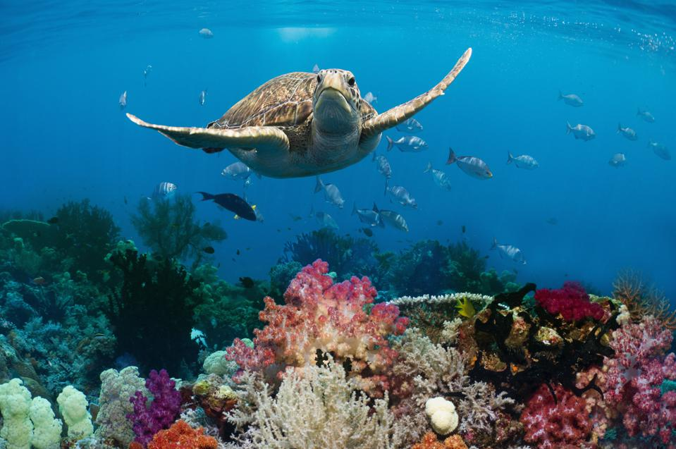 A green sea turtle swimming over a coral reef.