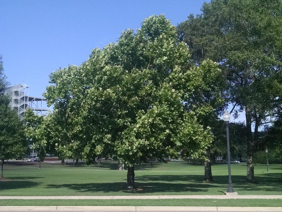Un árbol lunar sicomoro plantado en la Universidad Estatal de Mississippi en 1975 es el árbol padre de muchos árboles de segunda generación llamados árboles de media luna.