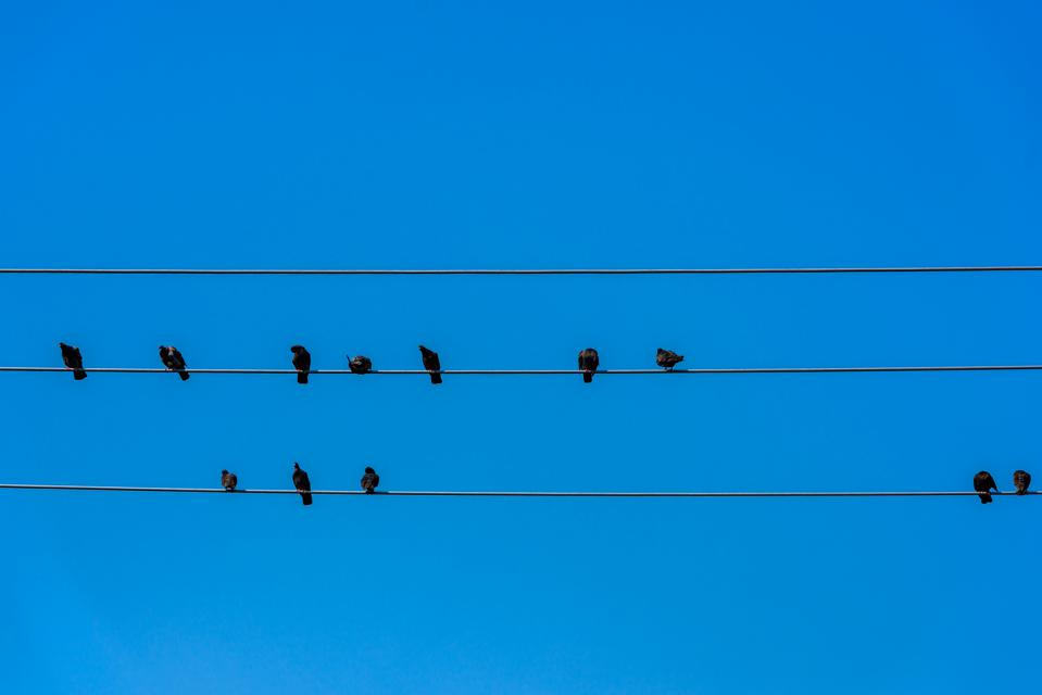 Birds resting on wire showing importance of hybrid culture.