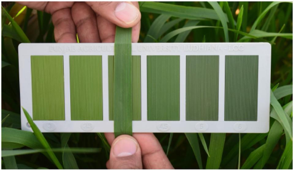 Here, a breeder matches a leaf to a color card to determine how much nitrogen to use in a fertilizer application.