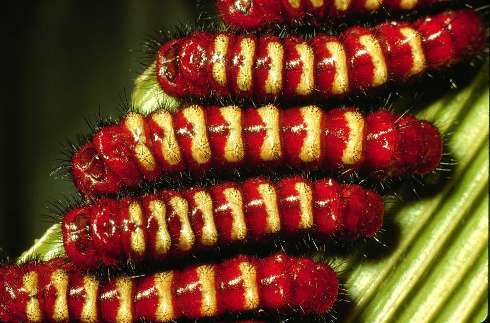 A group of bright red and gold caterpillars