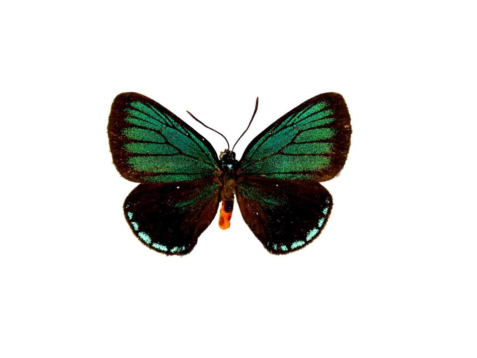 A green male Eumaeus atala butterfly. It's bright colors indicate how toxic it is to predators.