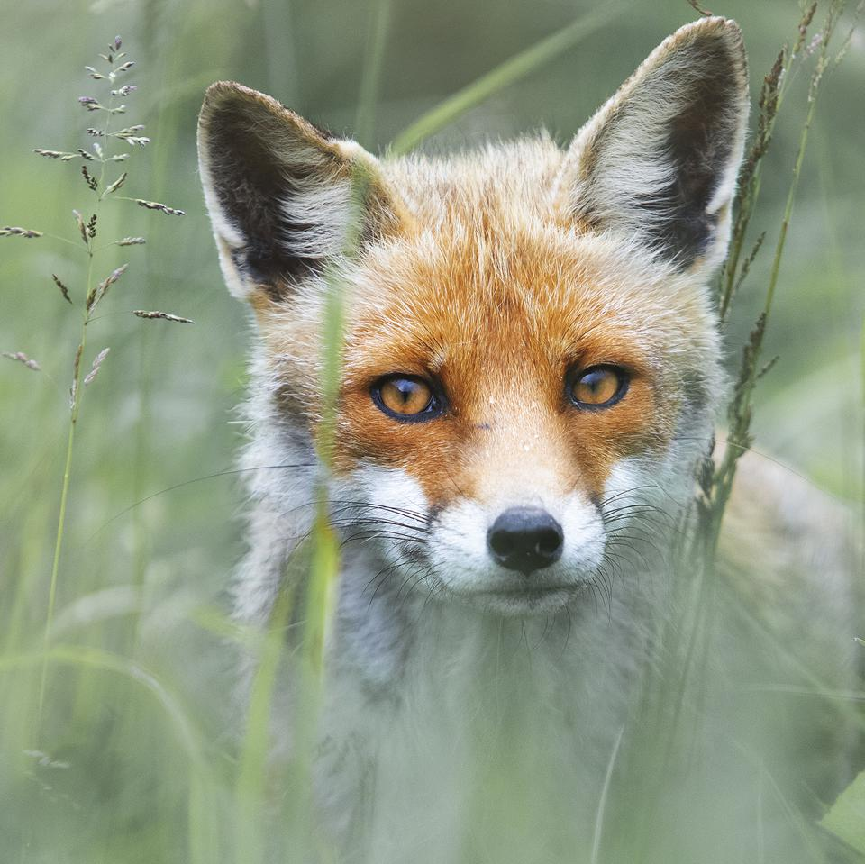 Sony World Photography Awards winning photo close up of a  fox face
