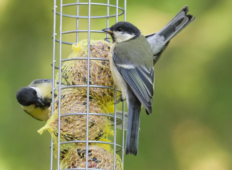 Great tits (Parus major) on a bird feeder filled with suet balls. (Credit: Magnus Johansson, CC BY SA 2.0)