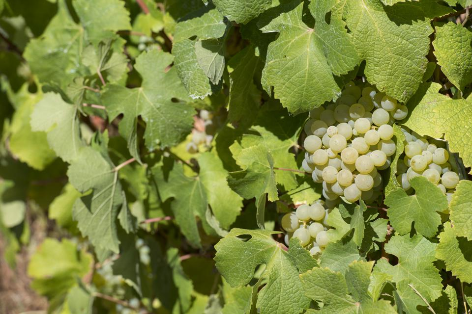 Bergerac white grapes
