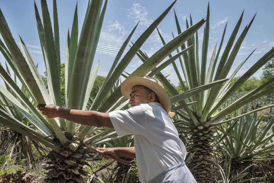 Henequen Cactus Farmer